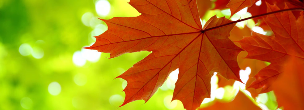 Maple Leaves * Green Building, LEED Certification, Forest Management, Aacer Flooring, Sport Flooring Systems | Green Company