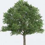 Northern Red Oak Species Page