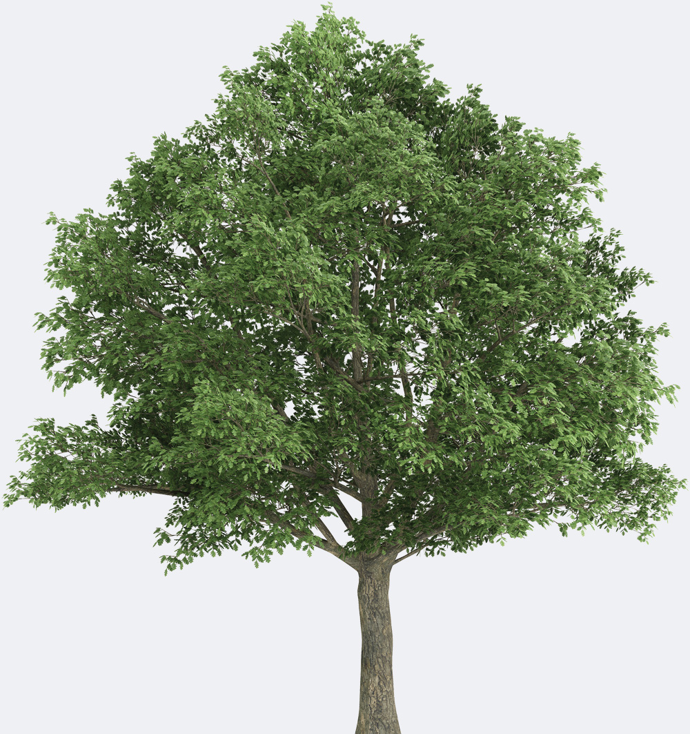 Northern Red Oak ~ Northern red oak species page