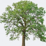 Northern White Oak Species Page